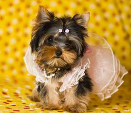 My itty bitty yorkies – My itty bitty yorkies